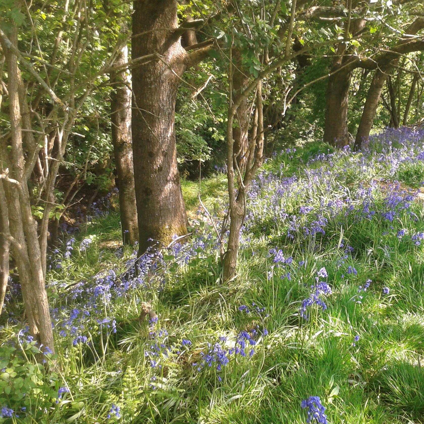 Lavender fields Dorset